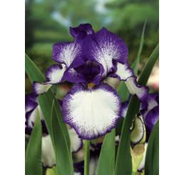 Iris germanica ´Loop the Loop´ / Kosatec nemecký, I.