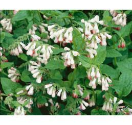 Symphytum grandiflorum ´Hidcote Pink´ / Kostihoj veľkokvetý, K9
