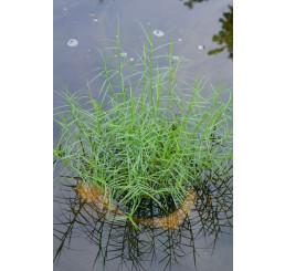 Carex muskingumensis 'Little Midge' / Ostrica muskingumenská, K9