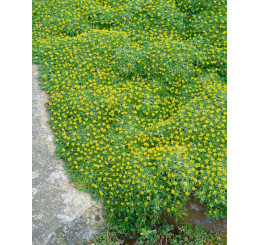 Azorella trifurcata / Azorelka, K9