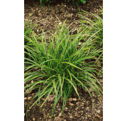 Carex morrowi ´Ice Dance´ / Ostrica, C1,5
