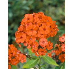 Phlox paniculata 'Orange Perfection' / Flox metlinatý, K9