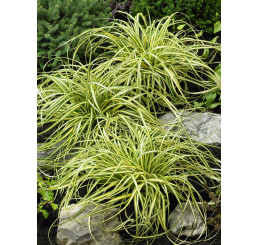 Carex oshimensis ´Evergold´ / Ostrica, K9