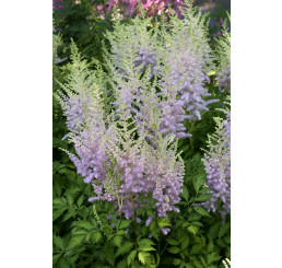 Astilbe chinensis 'Milk and Honey'® / Astilba čínska, C1