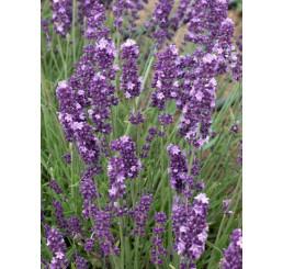 Lavandula angustifolia ´Ellegance Purple´ / Levanduľa úzkolistá, C1