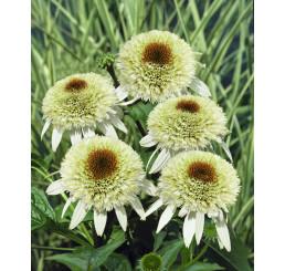 Echinacea purpurea 'Milkshake' / Echinacea purpurová, C2