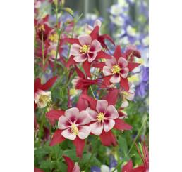 Aquilegia caerulea Crimson Star / Orlíček , C1,5