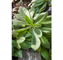 Hieracium aurantiacum / Chlpánik oranžový, K9