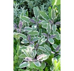 Salvia officinalis ´Tricolor´ / Šalvia lekárska, K9