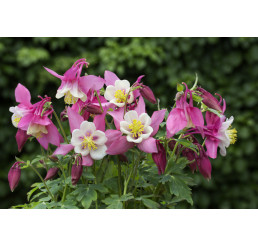 Aquilegia fl. ´Spring Magic Rose White´ / Orlíček ruž., biely stred, K9