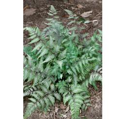 Athyrium otophorum 'Red Beauty' / Papradka, K9
