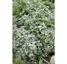 Aster ericoides 'Snowflurry' / Astra vresovcovitá ´Snehová prehánka´, K9