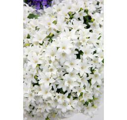 Campanula cochlearifolia ´Baby White´ / Zvonček maličký biely, C1,5
