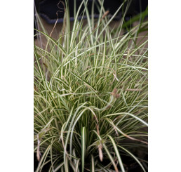 Carex oshimensis ´Evergold´ / Ostrica, C3