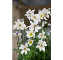 Anemone multifida Annabella White / Veternica, K9