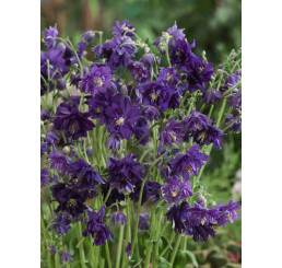 Aquilegia vulgaris Blue Barlow / Orlíček obyčajný, K9