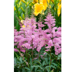 Astilbe x arendsii ´Younique Lilac´ / Astilba, C1,5