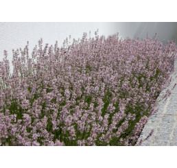 Lavandula angustifolia ´Rosea´ / Levanduľa úzkolistá, K9
