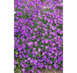 Aubrieta cultorum 'Sauerland'/ Tarička, C1,5