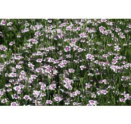Dianthus deltoides Arctic Fire / Klinček slzičkový, K9