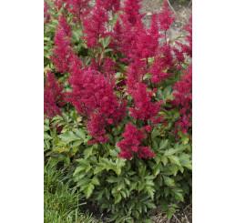 Astilbe japonica 'Red Sentinel' / Astilba japonská, K14