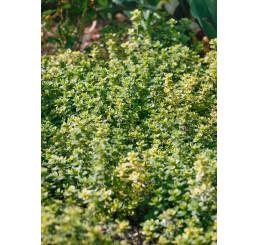 Thymus citriodorus ´Golden King´, K9
