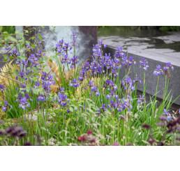 Iris sibirica / Kosatec sibírsky, C1,5