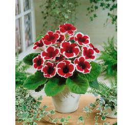 Sinningia speciosa ´Kaiser Friedrich´ / Gloxínia červeno-biela, 5/+