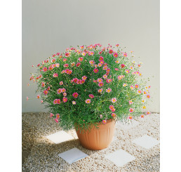 Argyranthemum ´Bright Carmine´ / Chrysantémovka červená, bal. 6 ks sadbovačov
