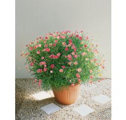 Argyranthemum ´Bright Carmine´ / Chrysantémovka červená, K7