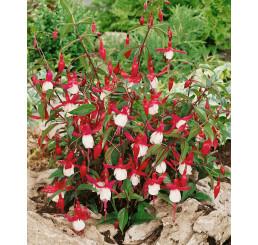Fuchsia ´Madame Cornelissen´ / Fuchsia, C1,5