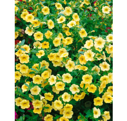 Calibrachoa ´Million Bells Lemon 2000´® / Petúnia, bal. 3 ks, 3xK7