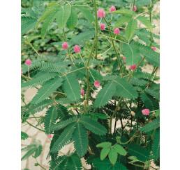 Mimosa pudica / Mimóza citlivá, 10-15 cm, K7