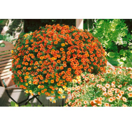 Calibrachoa MILLION BELLS® ´Crackling Fire´ / Petúnia, bal. 3 ks, 3x K7