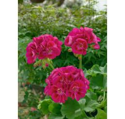 Pelargonium zonale ´pac®Flower Fairy® Berry´ / Muškát krúžkovaný, bal. 6 ks, 6xK7