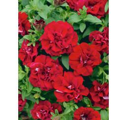 Petunia x atkinsiana ´Tumbelina®Inga´ / Petúnia plnokvetá červená, bal. 6 ks, 6x K7