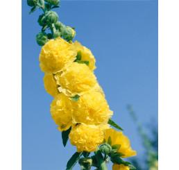 Alcea rosea ´Sunshine´ / Topoľovka žltá, K9