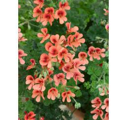 Pelargonium crispum Angeleyes® ´Orange´ / Muškát anglický, bal. 6 ks sadbovačov