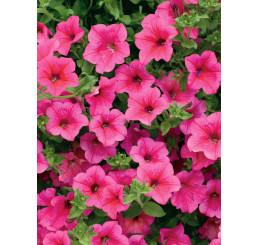 Petunia ´Hot Pink 05 Surfinia´® / Petúnia sýtoružová jednoduchá, K7