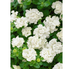 Petunia x atkinsiana ´Tumbelina® Diana´ / Petúnia plnokvetá biela, K7