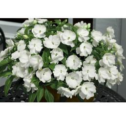 Impatiens ´New Guinea White´ / Netýkavka biela, bal. 3 ks, 3x K7