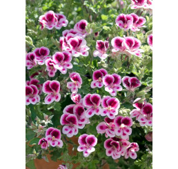 Pelargonium grandiflorum ´pac®Aristo® Candy´ / Muškát veľkokvetý, bal. 6 ks sadbovačov