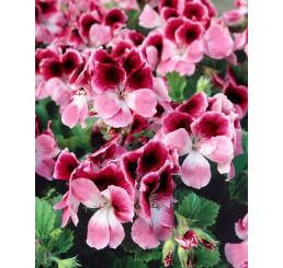 Pelargonium grandiflorum ´pac®Aristo® Darling´ / Muškát veľkokvetý, bal. 6 ks sadbovačov