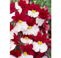 Nemesia ´Sunsatia® plus Cherry on Ice´ / Nemesia, bal. 6 ks sadbovačov