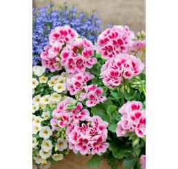 Pelargonium zonale ´pac®Flower Fairy® White Splash´ / Muškát krúžkovaný, bal. 6 ks, 6xK7