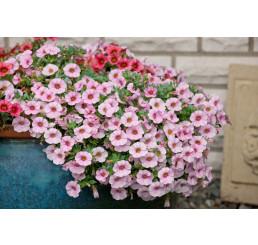 Calibrachoa ´Dream Kisses Magnolia´ / Mnohokvetá petúnia, bal. 6 ks sadbovačov