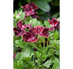 Pelargonium grandiflorum ´Aristo Beauty´ / Muškát veľkokvetý červený, bal. 6 ks, 6xK7