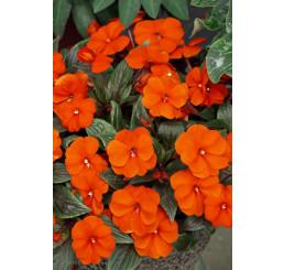Impatiens ´New Guinea Orange´ / Netýkavka oranžová, bal. 6 ks sadbovačov