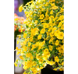 Calibrachoa ´Celebration® Banana´ / Mnohokvetá petúnia, bal. 3 ks, 3x K7