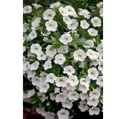 Calibrachoa ´Celebration® White Improved´ / Mnohokvetá petúnia, bal. 6 ks sadbovačov
